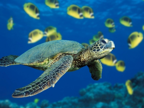 A sea turtle swims past a school of butterflyfish