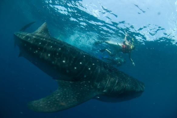 Tiburòn ballena